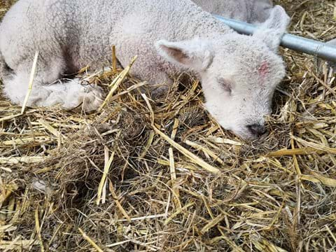 A new born Ryeland Lamb