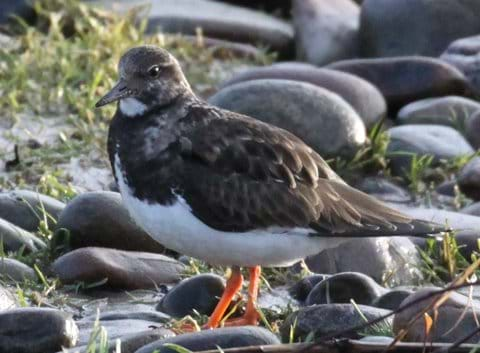 Turnstone often seen along the shore path