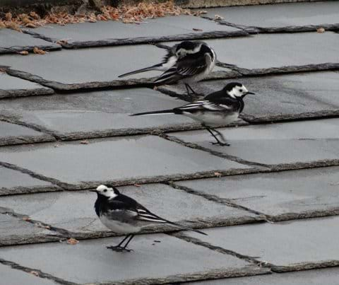 Pied wagtails on Bach roof