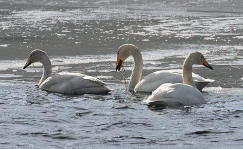 overwintering Whooper swans