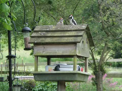 Resident Mother feeding baby Woodpecker
