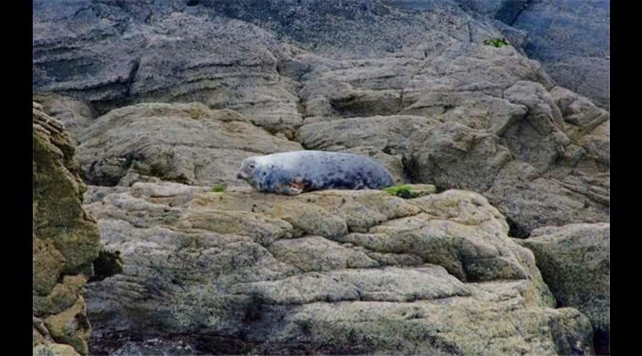 Grey seal - Cardigan Bay