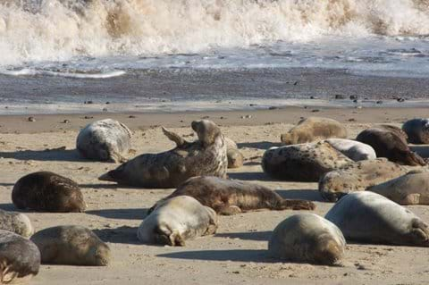 Famous seal colony at Horsey Beach