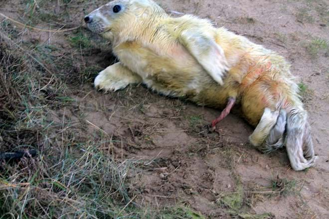 New born seal during Seal Pupping Season at Donna Nook. I was there just in time to take this photo.