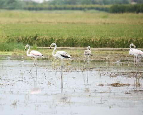 Flamingos - Albufera