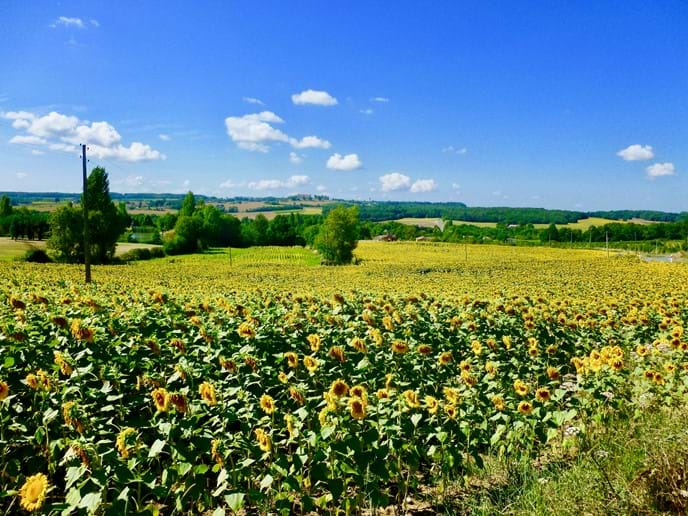 Beautiful sunflowers in the surrounding countryside
