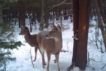 A picture of a doe and a fawn taken by a trail camera I have set up in the woods a short drive from the Willow Bank cottage.