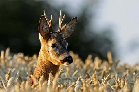 Roe Deer - Berwick Bassett - David White