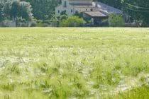 May Barley Fields.