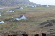 Hebridean black sheep