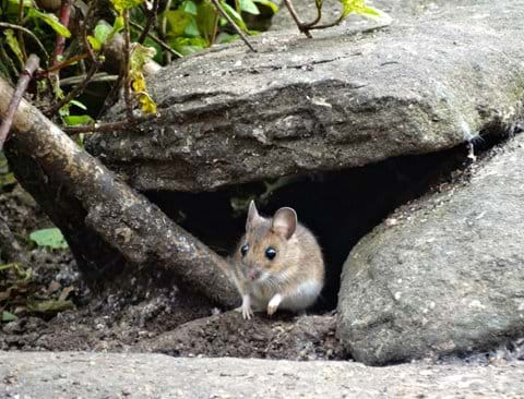 woodmouse under the stones by the seed feeder