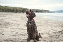 Manny the labradoodle
