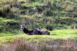 It is common to find red and fallow deer walking through the Fairy Hill Cottage garden and eating the grass there.