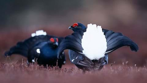 Rare black grouse up on the Berwyns