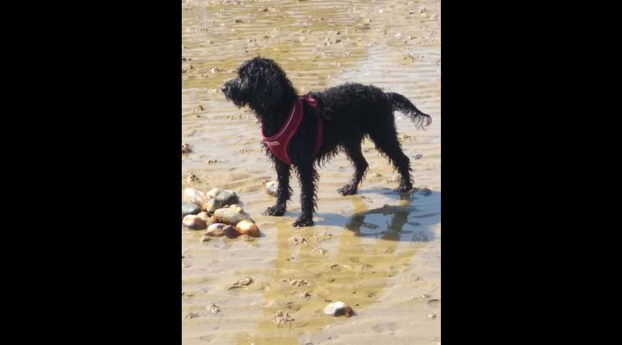 Our fearless hound Georgie loves the beach