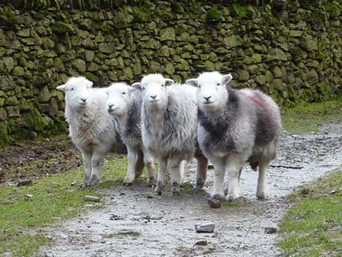 The adorable Herdwick sheep of the Lake District