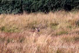 From the end of September and during October while at Fairy Hill cottage you may hear some strange, eerie calls rolling over the grassy glen. Do not fear, its only deer! During the rutting season stags will use their call to attract hinds (female red deer)