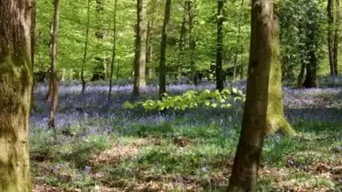 Ancient woodlands carpeted with bluebells in May