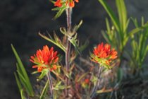 Indian Paintbrush- seemingly always in bloom on the shore-line in front of the cottage.