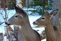 This photo of a doe and fawn was taken out a window on the lower level of the Willow Bank. You can see the Guest Cabin in the background.