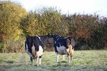 Cows grazing in field beside cottage