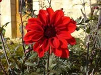 "Dahlia ""Bishop of Llandaff"""