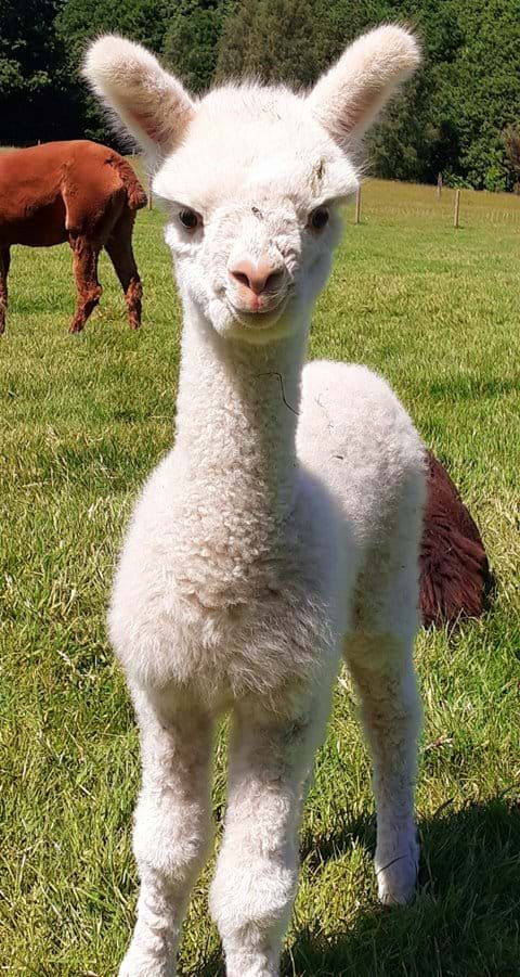 Laurie - our baby Alpaca born June 2021