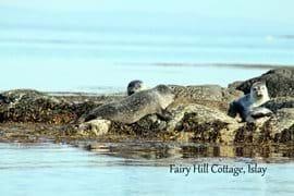 Islay is home to common seals (harbour seals) and Grey seals. Seals can be seen sunbathing on the rocks around the island