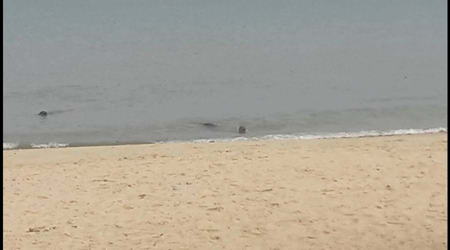 Seals swimming close to shore at Horsey Beach, taken in September