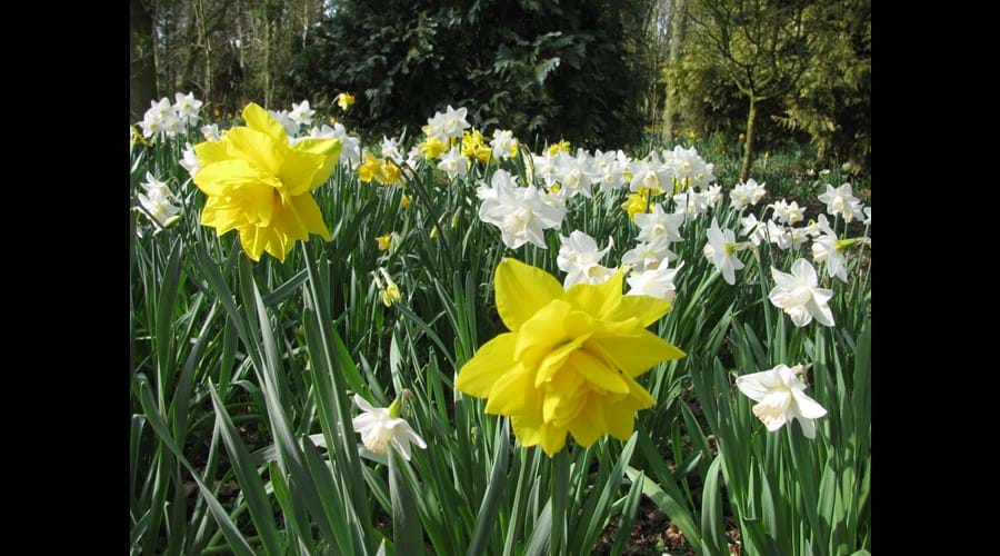 daffodils in the woodland