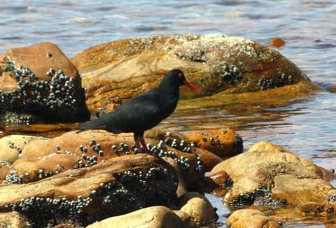 The protected Oyster Catcher on the rocks at Swartvlei Beach
