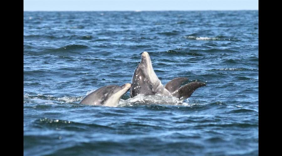 bottlenose dolphins in the Moray Firth
