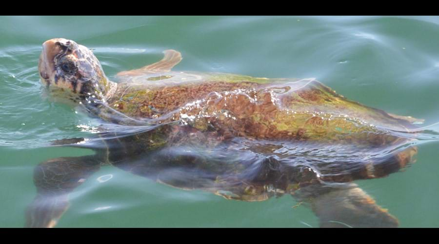 Loggerhead Turtle in Argostoli Harbour