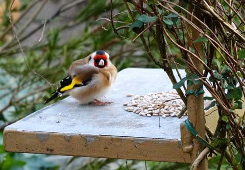chubby Gold Finch