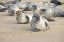 Horsey Seals, 5 Miles Away