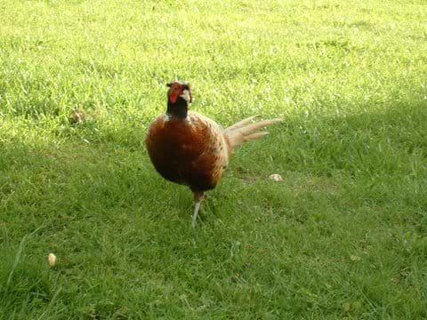 Visiting Pheasant