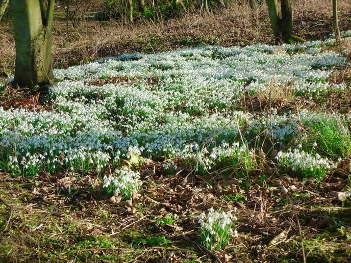 The woods around the Pele Tower are full of snowdrops in Spring
