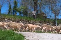 Local Brebis sheep on the lane by La Caze