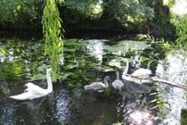 swans bring their cygnets every year