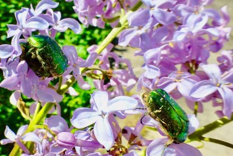 Some chafers - 2 lovers and a single on lilac.