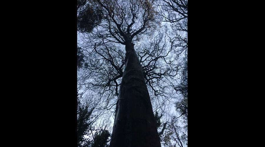 Tall trees! Molly Quirk's Glen, Onchan
