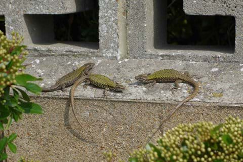 Wall lizards sunbathing in our garden