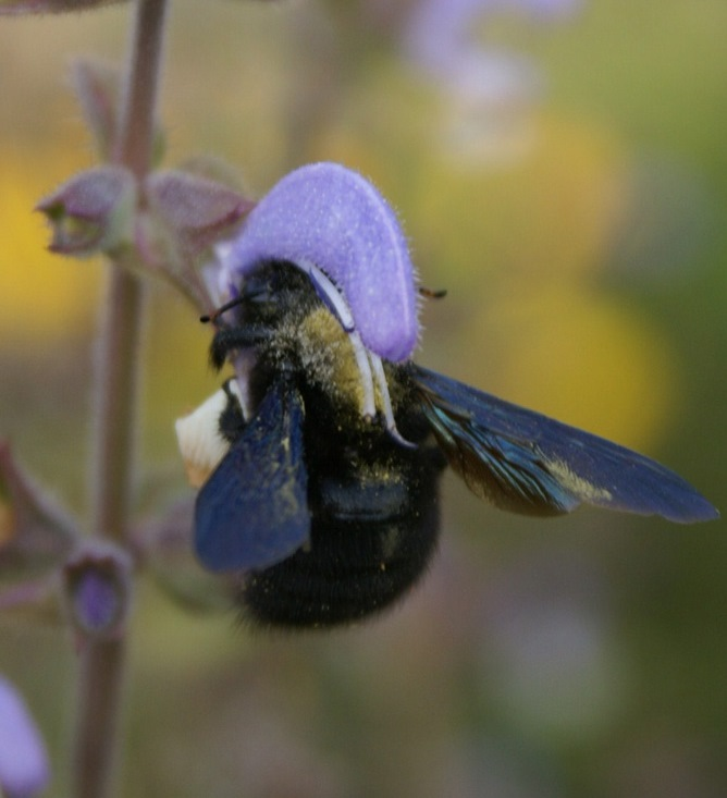 Carpenter bee at Eco-Gites of Lenault, Normandy