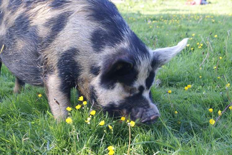One of the pigs at Eco-Gites of Lenault enjoying spring grass