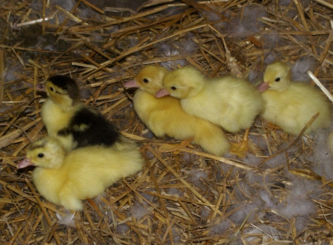 Ducklings at Eco-Gites of Lenault, Normandy, France