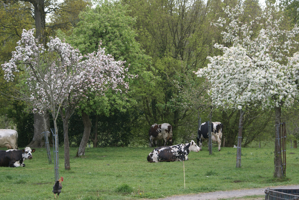 Apple orchard in blossom in Normandy