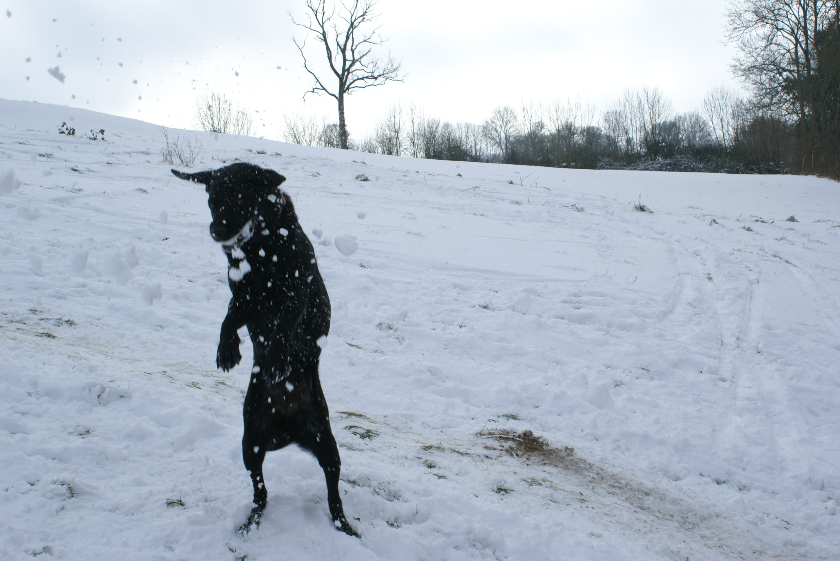 Dog catching a snowball