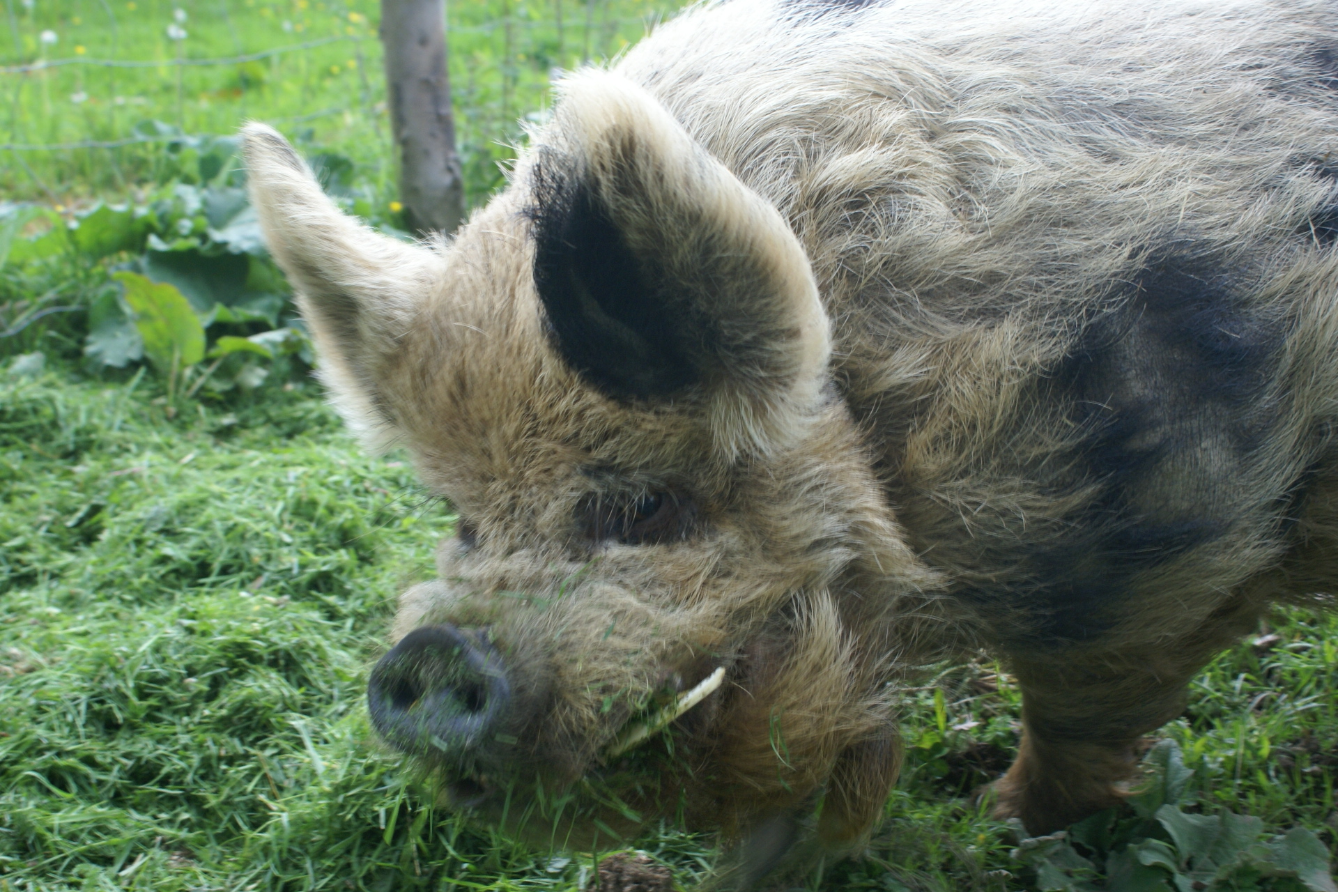 Boris, the resident pig at Eco-Gites of Lenault
