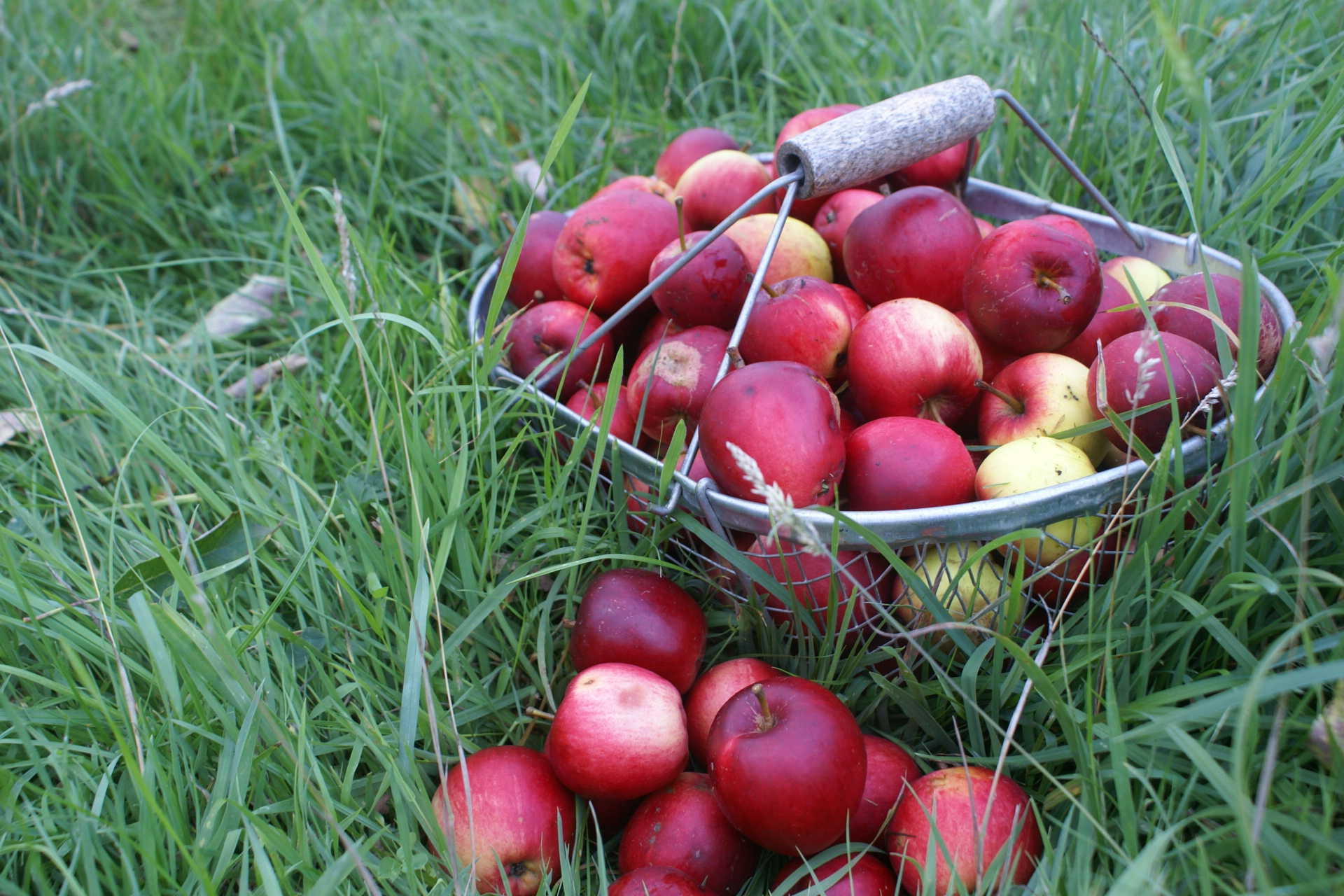 Apple harvest at Eco-Gites of Lenault, Normandy