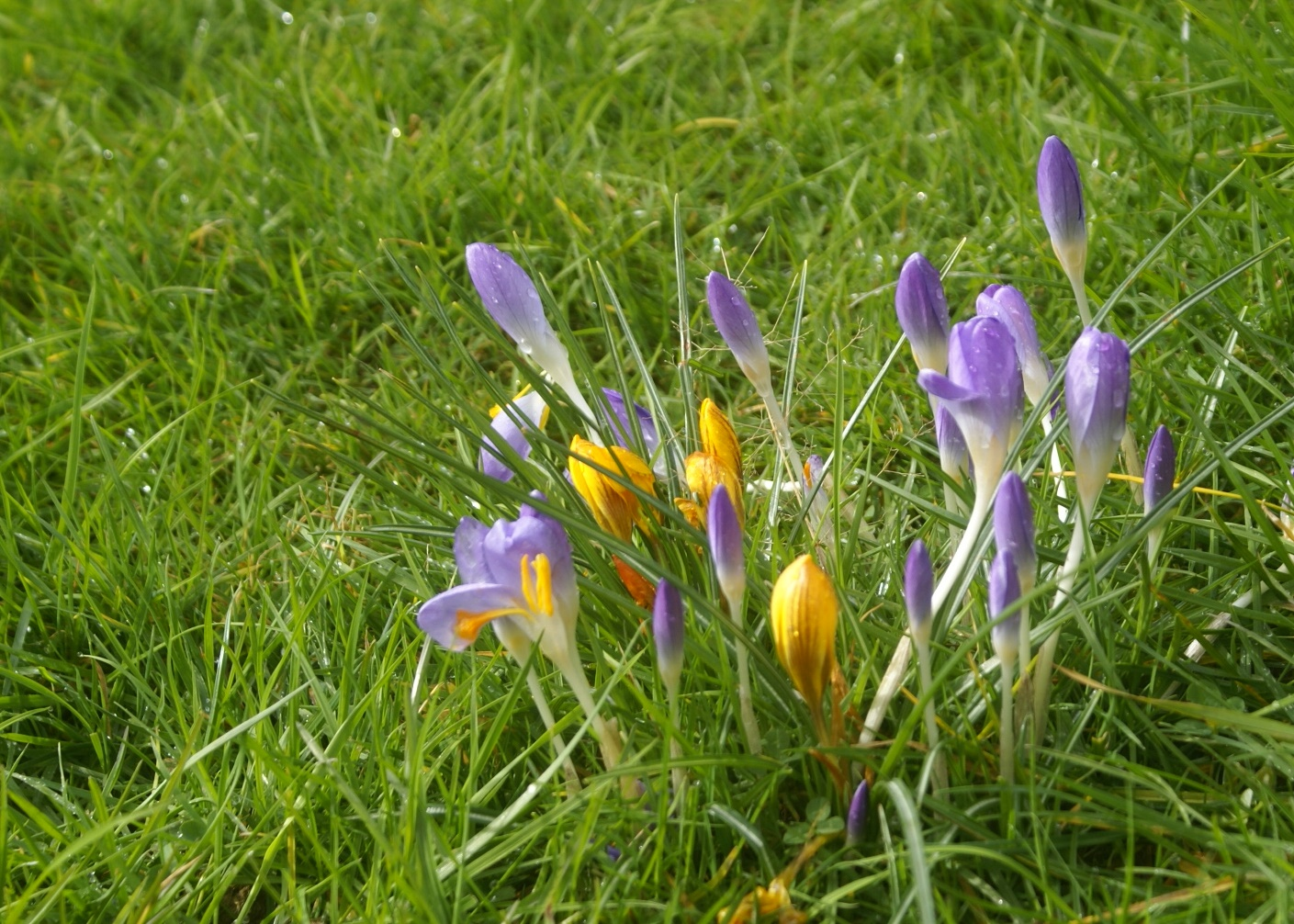 Crocuses at Eco-Gites of Lenault in Normandy